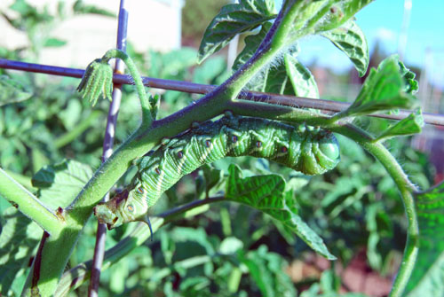 tomato hornworm revealed