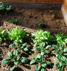 Closeup of cold frame veggies