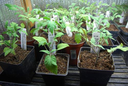 Ok ... & Transplanted Tomatoes Again to Bigger Pots « giantveggiegardener