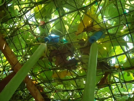 looking up inside a trellis (not mine!)