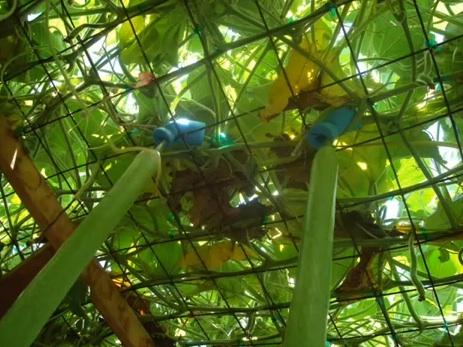 looking up inside a trellis (not mine!)