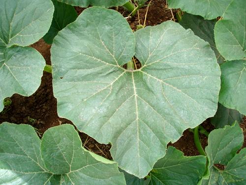 Pumpkin Plant Leaves 18-inch-leaf-895-grande-071011 jpgPumpkin Plant Leaves