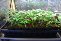 tomatoes 4_17_11