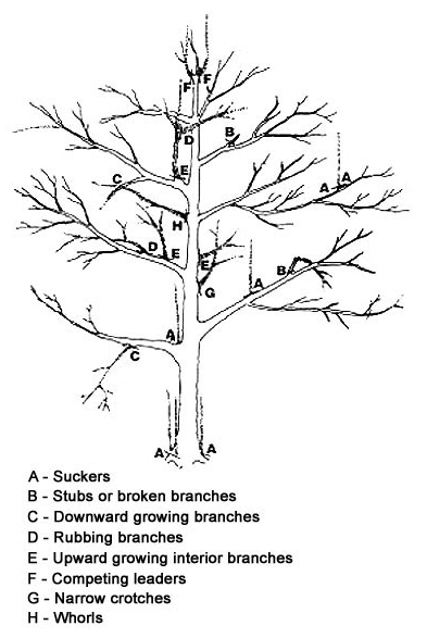 Pruning Apple Trees 171 Giantveggiegardener