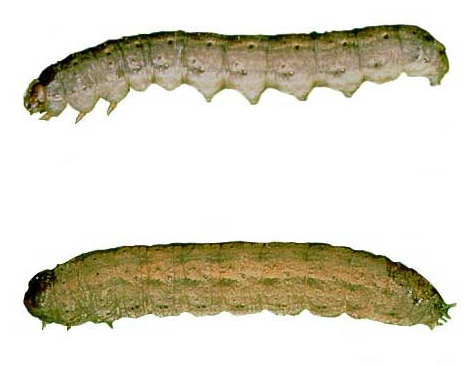 how to get rid of cutworms in lawn