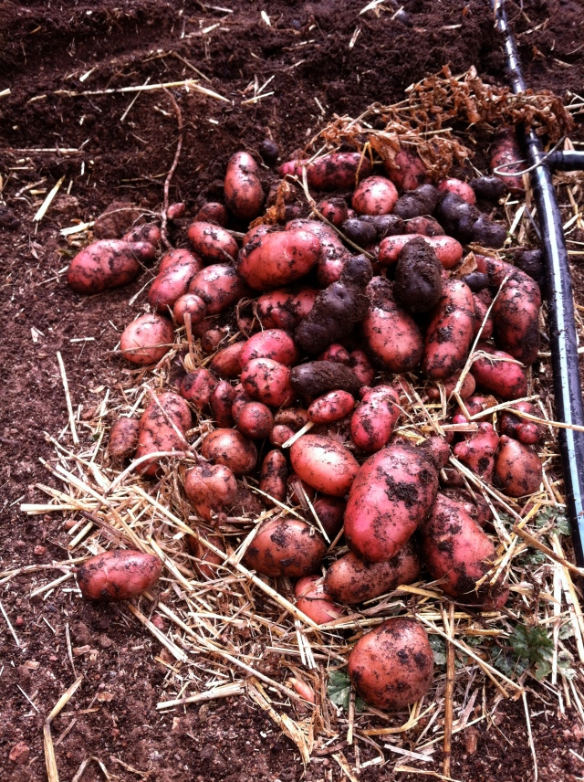 Potatoes dug out just in the nick of time!