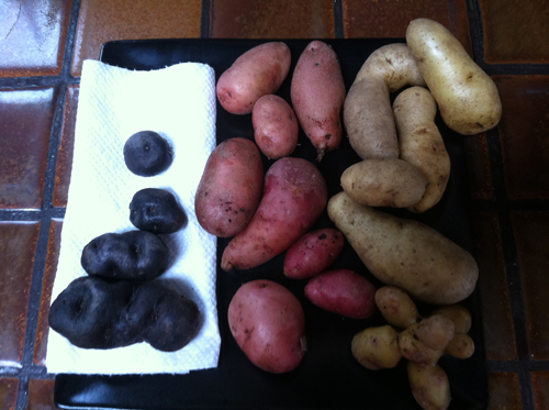 From left-Peruvian Purple, French Fingerling and Russian Banana