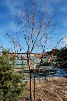 apple tree-granny pruned