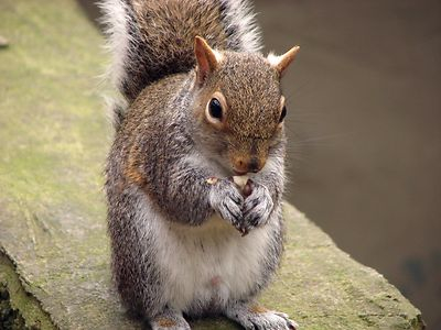 squirreleating nut