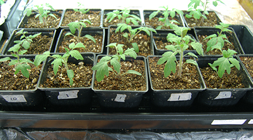 transplanted tomatoes