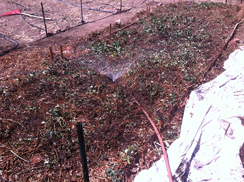 strawberry bed in spring with row cover ready to cover when it freezes