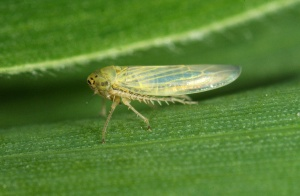beet leafhopper - courtesy of http://www.coopext.colostate.edu/TRA/PLANTS/curlytopvirus.shtml