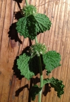 closeup of white horehound