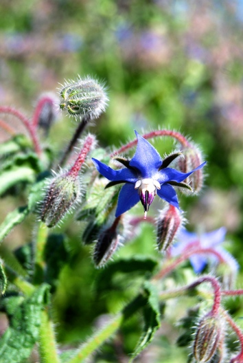 14borage_closeup