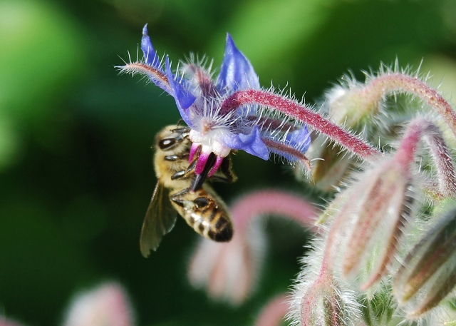 Bee on Borage-photo courtesy of Elodie Holmes