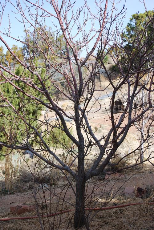 apricot tree unpruned1