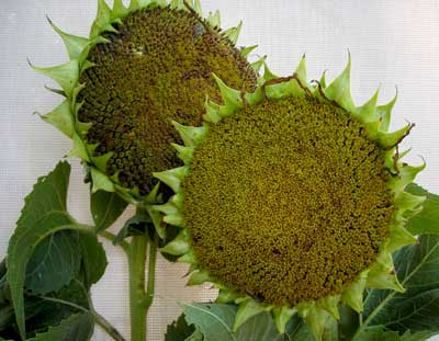 peredovik-sunflower heads