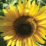 peredovik-sunflower