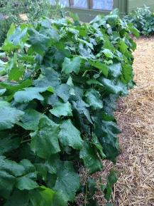 30 feet of grape vine!
