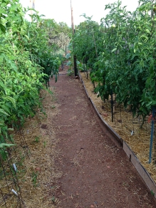 tomato forest