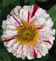 zinnia_ peppermint stripe closeup