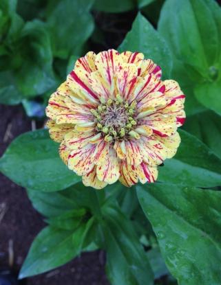 zinnia_yellow and red streaked zinnia