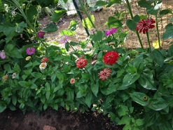 zinnias_row of mixed zinnias