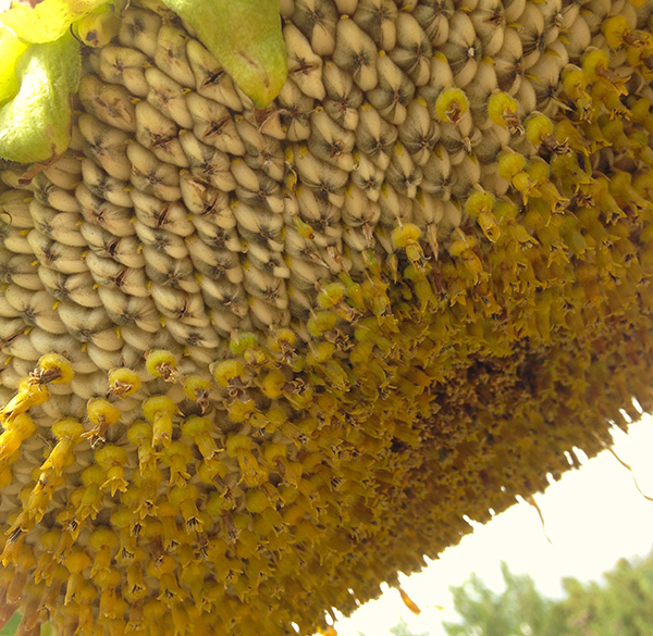 sunflower seedhead closeup