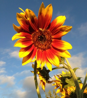 sunflower_autumn