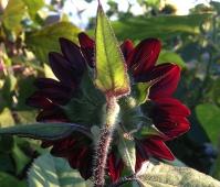 sunflower_burgundy_backside