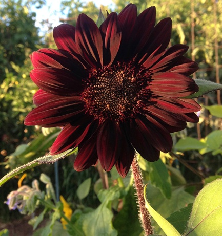 sunflower_burgundy_front