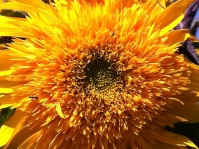 sunflower_closeup of teddybear