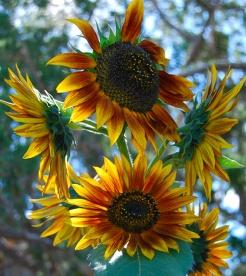 sunflower_group