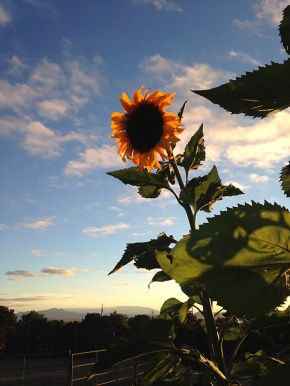 sunflower_single at sunset