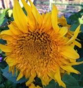 sunflower_teddybear