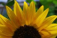 sunflower_top half