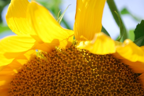 sunflowercloseup