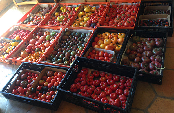 tomatoes ready for market