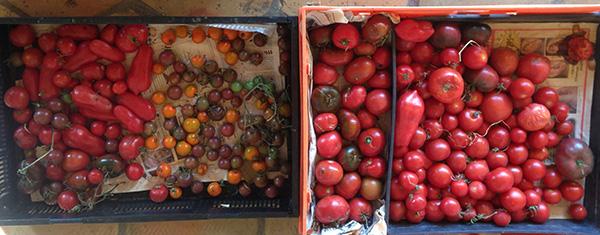 Nov tomatoes