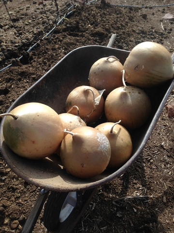 bushel gourds