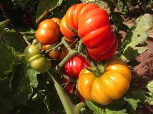 Costulouto Genevese tomatoes