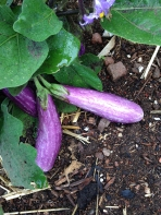 fairy eggplant