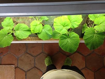 Giant pumpkin plants