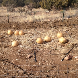 gourds drying in Nov