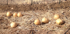 gourds in field