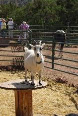Hunvee the Dwarf Nigerian goat