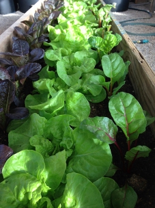 lettuces in greenhouse in March