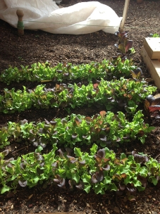 mesclun in Green house in Feb.