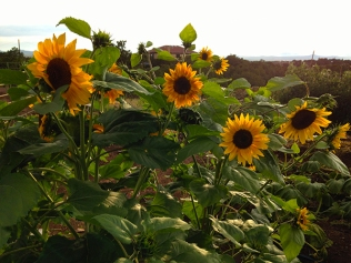 more sunflowers