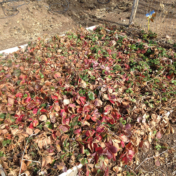 Fall winter planting tips giantveggiegardener - Plant strawberries spring ...